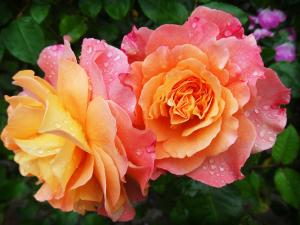 Rose - 174817 - 1920